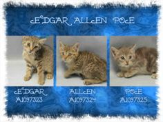 ***TO BE DESTROYED 11/23/16*** THREE CUTE HEALTHY KITTENS NEED FOSTER! on death list today! If you would like to foster or adopt and can't make it to the shelter, please write an email NOW to the Urgent Help Desk at Helpcats@Urgentpodr.org Their experienced volunteers will assist you one-on-one with rescues and the application process. Transport can be arranged by rescues to the homes of approved fosters or adopters within 3-4 hours of New York City