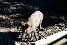 Wildschwein bei der Futtersuche Goats, Animals, Wild Boar, Scenery Photography, Animales, Animaux, Goat, Animal, Animais