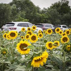 WEBSTA @ renault_cz - Rozkvetlé do krásy. 🌻 #renault #NewKOLEOS #sunflower #flowers #nature #rise #sun #car #auto #offroad #field #4x4 #awd #SUV #luxury