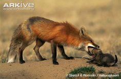 Red fox photos - Vulpes vulpes | Arkive