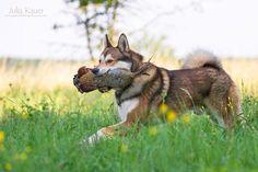 Westsibirische Laika - julia kauer jagdhunde fotografie