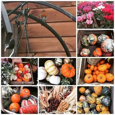 #Autumn is here the garden centre is full of #colour with #pansies #cyclamen & #pumpkins and also #robins