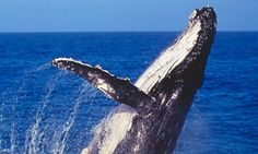 Groupon - $ 39 for a Whale Watching Cruise for One Child or One Adult with Captain Cook Cruises, Circular Quay (Up to $75 Value) in Whale Watching Sydney. Groupon deal price: $39