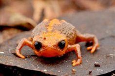 "bogleech: """"Brachycephalus"" frogs more like wtf are these little E.T. men """