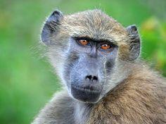 #Opice v Africe :: Karikatury karikaturista