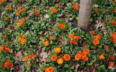 El cultivo de la Calendula officinalis y sus cuidados - http://www.floresyplantas.net/la-calendula-officinalis/