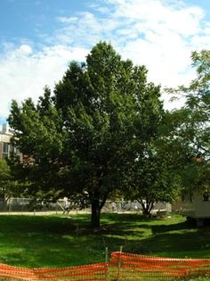 shingle oak - Google Search Planting, Gardening, Deciduous Trees, Golf Courses, Landscape, Google Search, Plants, Scenery, Lawn And Garden
