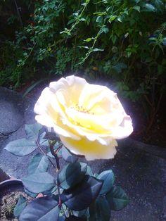 Minha rosa amarela.