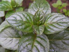 5 plantas para aliviar el dolor de cabeza   Cuidar de tus plantas es facilisimo.com