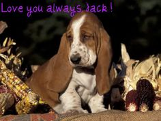 Basset hound face but reversed to the right. Basset Puppies, Hound Puppies, Basset Hound Puppy, Hound Dog, Cute Puppies, Dogs And Puppies, Beagles, Doggies, Bassett Hound