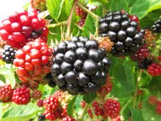 How to Cultivate Yourself (Like a Blackberry)