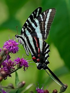 A delightful Zebra Swallowtail butterfly Butterfly Kisses, Butterfly Flowers, Butterfly Wings, Mariposa Butterfly, Butterfly Bush, Butterfly Pictures, Flying Flowers, Butterflies Flying, Flying Insects