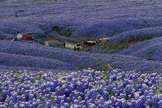 Blue Bonnets in Ellis County  Texas