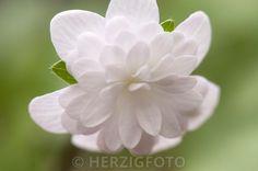 Hepatica nobilis var. japonica 'Tougen'