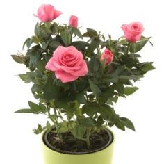 Growing Roses in Containers... lots of good info!