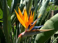 Bird of Paradise: include more to already existing planting on hill....extend in a larger area.