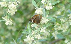 A fresh looking Buckeye butterfly fed on a nectaring bush, seemed appropriate here in Ohio! :) Leica V-Lux 3 #biggestweek https://www.facebook.com/photo.php?fbid=444659615562416=a.444659055562472.117192.355103211184724=3