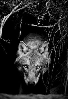 Shadow Within. Photo Project by Christian Houge. Shadow Within explores man`s relation to the wolf and ultimately, to himself. Beautiful Creatures, Animals Beautiful, Regard Animal, Animals And Pets, Cute Animals, Nature Animals, Photo Animaliere, Howl At The Moon, Wolf Love