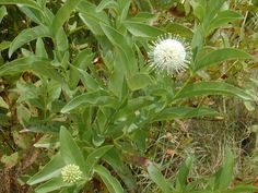 Cephalanthus occidentalis (Common buttonbush) | A great shrub for wet, partial shade.  Replace your butterfly bush and you will also provide a plant source for butterfly larvae.  Something Butterfly bush can't do.