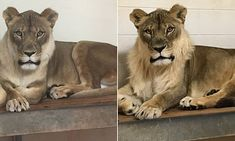Scientists reveal why a lioness suddenly grew a MANE