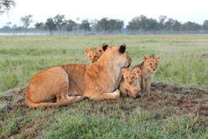 Governor's Camp | Kenya | Lion
