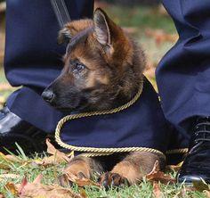 australian military dogs