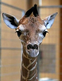 Zoo Berlin welcomes a baby Giraffe - its first in four years!  Read the whole story at ZooBorns.com and at http://www.zooborns.com/zooborns/2013/03/zoo-berlin-welcomes-baby-giraffe.html