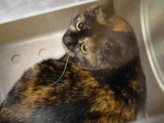 ***UNKNOWN 02/19/17*** DANIELLE IS PERFECTLY HEALTHY AND IS WONDERING WHY SHE WAS BROUGHT TO THE SHELTER - SHE NEEDS A KIND AND PATIENT PURRSON TO SAVE HER LIFE BY NOON!
