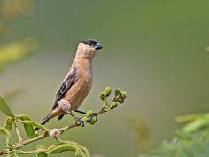 O caboclinho é uma ave passeriforme da família Thraupidae. Nome Científico Sporophila bouvreuil (Statius Muller, 1776) Mede cerca de 10cm de comprimento. O macho é de coloração geral canela, com um boné, asas e cauda pretos e a fêmea é marrom-olivácea nas partes superiores e branco-amarelada nas inferiores.