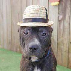Meet Arthur Canine Doyle a Pet for Adoption. Doggies, Pet Dogs, Dogs And Puppies, Dog Cat, Pets, Pitbull Adoption, Pet Adoption, Inverness Florida, Foster Animals
