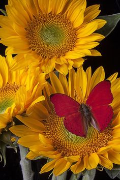 Red butterfly and three sunflowers~ Simple beauty.