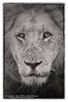 Kruger Park Top 10 September Wildlife Photographs Captured in the Kruger National Park Wildlife Photography, Animal Photography, Male Lion, Photography Competitions, Kruger National Park, Black And White Portraits, African Animals, Top Photo, His Eyes