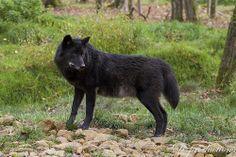 Ebene, loup noir timberwolf au Parc de Sainte-Croix par D-production Wolf Hybrid Dogs, Ace Of Swords, Geek Movies, Timberwolf, Howl At The Moon, Indian Pictures, Wolf Love, Wolf Spirit, Animal Totems