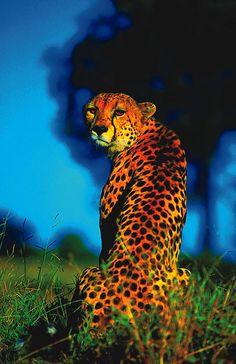 Cheetah by safari-partners on Flickr