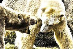 Vechtende ijsberen.