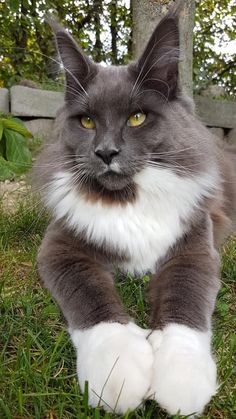 When it comes to Maine Coon Vs Norwegian Forest Cat both can make good pets but have some traits and characteristics that are different from each other Pretty Cats, Beautiful Cats, Animals Beautiful, Stunningly Beautiful, Cute Baby Animals, Funny Animals, Funny Cats, Animals Images, Winter Cat