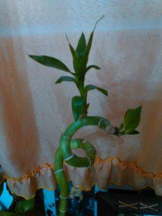 Mi bamboo chino;creciendo