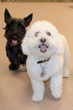 Clancy and Nevada at Tail Gate dog daycare and boarding in Elmhurst! Clancy is in overnight boarding and training.  #dog #dogdaycare #elmhurstil #scottie #bichon