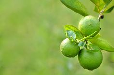 Healthy facts about limes