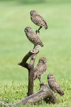 Tower of Owls