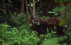 The saola, discovered by chance in Vietnam in 1992
