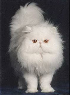 white-deaf-persian-cat