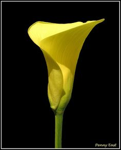 """A Cup of Sunshine""  Zantedeschia pentlandii   Common Name: Yellow Arum  Family: Araceae  Photo by Penny East"