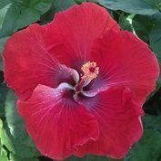 Yuletide hibiscus
