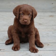 Chocolate Lab so cute