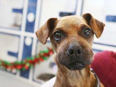 Justicia, un perro que estaba atado a los pies y la boca con cinta aislante y luego descartado a morir, continúa para sanar, mientras que en la atención en el Windsor / Essex Humane Society.
