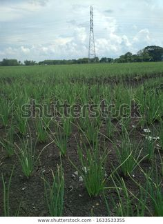 Find Shallots Field Electric Tower Cloudy Sky stock images in HD and millions of other royalty-free stock photos, illustrations and vectors in the Shutterstock collection. Thousands of new, high-quality pictures added every day. Blue Sky Background, Flora And Fauna, Fields, Royalty Free Stock Photos, Electric, Tower, Earth, Vectors, Nature