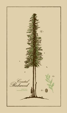 Coast redwood - from Mike Lay / Powerslide Design Co. Dude's a great local Seattle graphic designer. I am going to push either for this species, a Giant Sequoia, or a Western Cedar, to be our arboreal mascot.