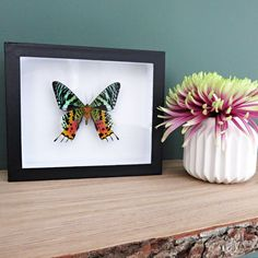 Urania ripheus // insect museum box // colorful // shadowbox