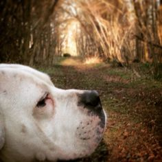 Missy the American bulldog on a walk lies in the woods